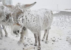 snow-donkey
